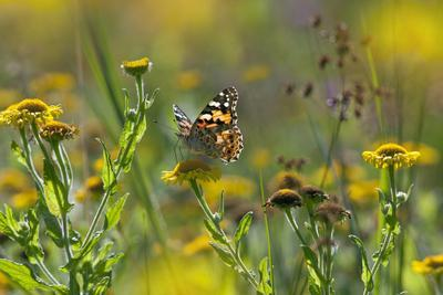 Painted Lady Butterfly (Cynthia - Vanessa Cardui) Feeding On Fleabane Flower, UK, August-Ernie Janes-Photographic Print
