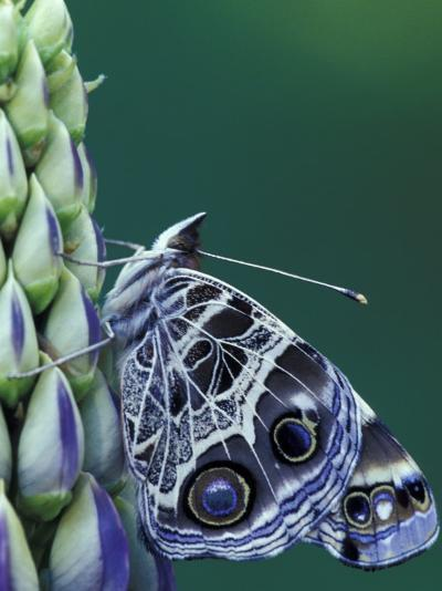 Painted Lady Butterfly on Lupine, Bloomfield Hills, Michigan, USA-Darrell Gulin-Photographic Print