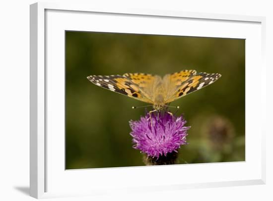 Painted Lady Butterfly on Thistle Blossom--Framed Photographic Print