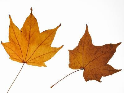 Painted Maple Leaves in Autumn Colours, Native to Korea, Japan, Manchuria, Usa and Canada-Philippe Clement-Photographic Print