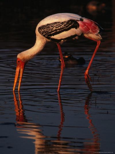 Painted Stork (Ibis Leucocephalus), Sri Lanka-Lawrence Worcester-Photographic Print