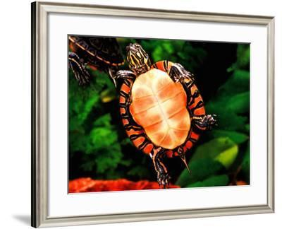Painted Turtle, Native to Southern USA-David Northcott-Framed Photographic Print