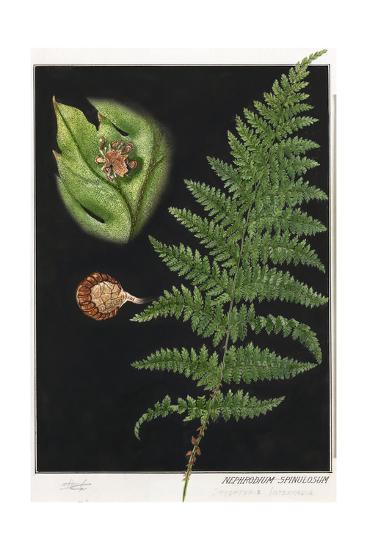 Painting of a Intermediate Woodfern, Dryopteris Intermedia-E.J. Geske-Giclee Print