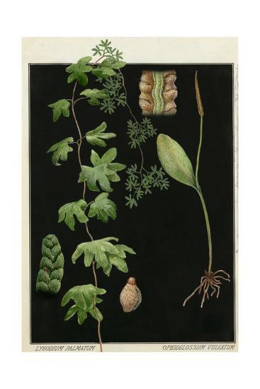 Painting of Southern Adderstongue and American Climbing Fern-E.J. Geske-Giclee Print