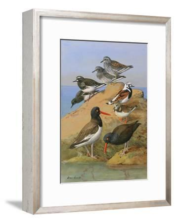 Painting of Two Species of Oystercatcher, Turnstone, and a Surf-Bird-Allan Brooks-Framed Giclee Print