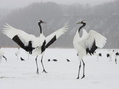 Pair Endangered Red-Crowned Cranes in Mating Dance (Grus Japonensis)-Roy Toft-Photographic Print