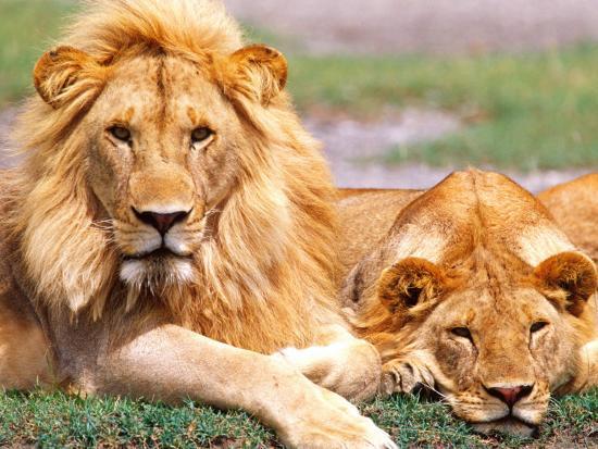 Pair of African Lions, Tanzania-David Northcott-Photographic Print