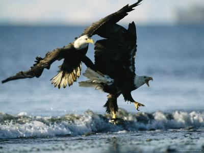 Pair of American Bald Eagles Approach the Shoreline-Klaus Nigge-Photographic Print