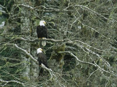 Pair of American Bald Eagles Perch in a Treetop-Klaus Nigge-Photographic Print