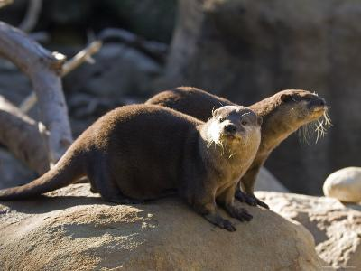 Pair of Asian Smalled-Clawed Otters, Santa Barbara, California-Rich Reid-Photographic Print