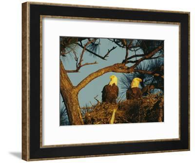 Pair of Bald Eagles Perch in Their Treetop Nest-Klaus Nigge-Framed Photographic Print