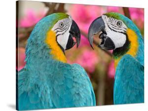 Pair of blue and gold macaws engaged in conversation, Baluarte Zoo, Vigan, Ilocos Sur, Philippines