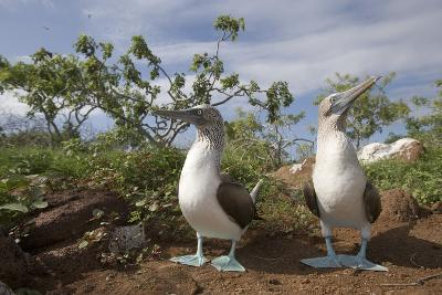 Pair of Blue-Footed Boobies-Paul Souders-Photographic Print