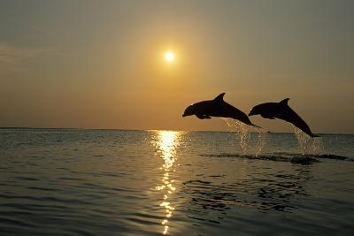 Pair of Bottle Nose Dolphins Jumping at Sunset Roatan Honduras Summer Backlit-Design Pics Inc-Photographic Print