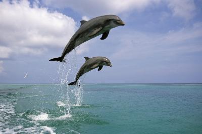 Pair of Bottle Nose Dolphins Jumping Roatan Honduras Summer-Design Pics Inc-Photographic Print