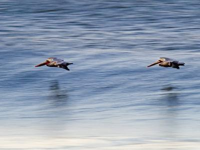 Pair of Brown Pelicans Flying at Sunrise-Rich Reid-Photographic Print