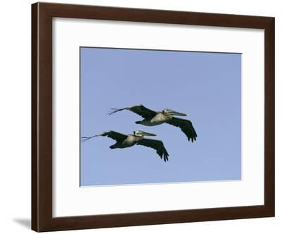 Pair of Brown Pelicans in Flight-Marc Moritsch-Framed Photographic Print