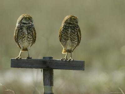 Pair of Burrowing Owls Perch on a Post-Klaus Nigge-Photographic Print
