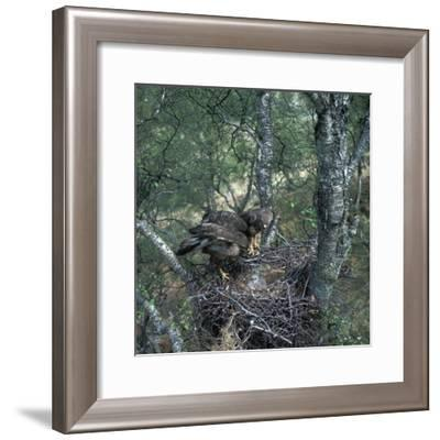 Pair of buzzards on the nest-CM Dixon-Framed Photographic Print
