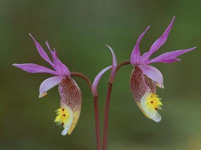 Pair of Calypso Orchids, Upper Peninsula, Michigan, USA-Mark Carlson-Photographic Print
