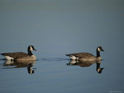 Pair of Canada Geese (Branta Canadensis)-Raymond Gehman-Photographic Print
