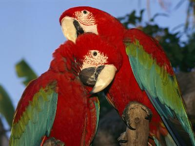 Pair of Captive Red-And-Green Macaws at Busch Gardens-Richard Nowitz-Photographic Print