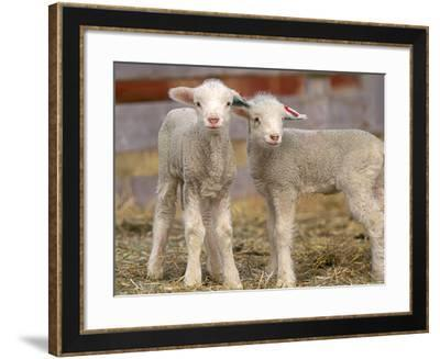 Pair of Commercial Targhee Lambs-Chuck Haney-Framed Photographic Print