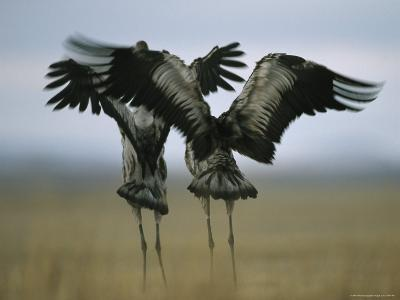 Pair of Common Cranes Stretching and Flapping Their Wings-Klaus Nigge-Photographic Print