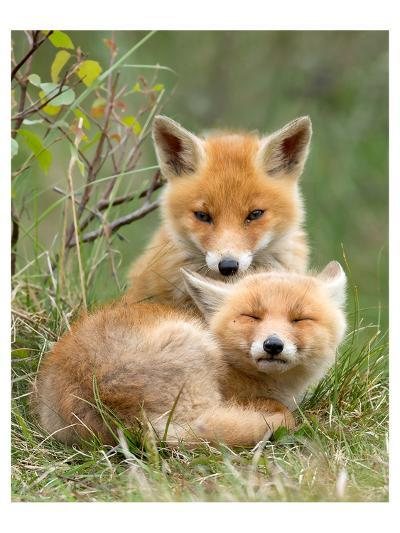 Pair of Cuddling Red Fox Cubs--Art Print