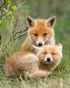 Pair of Cuddling Red Fox Cubs