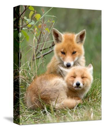 Pair of Cuddling Red Fox Cubs