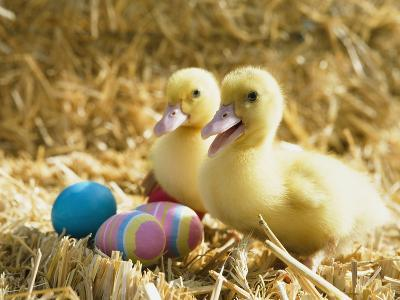 Pair of ducklings with Easter eggs-Ada Summer-Photographic Print