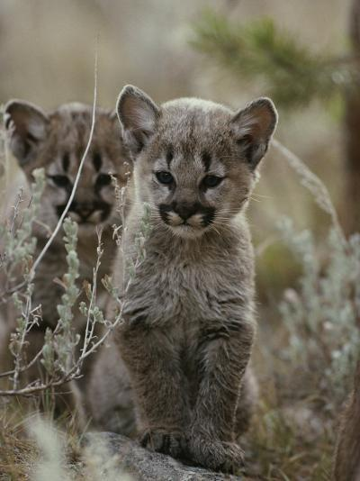 Pair of Eight-Week-Old Cougar Kittens-Jim And Jamie Dutcher-Photographic Print