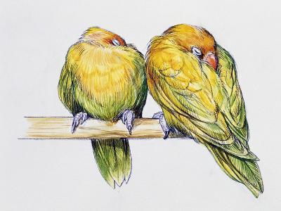 Pair of Fischer's Lovebirds While Sleeping (Agapornis Fischeri), Psittacidae--Giclee Print