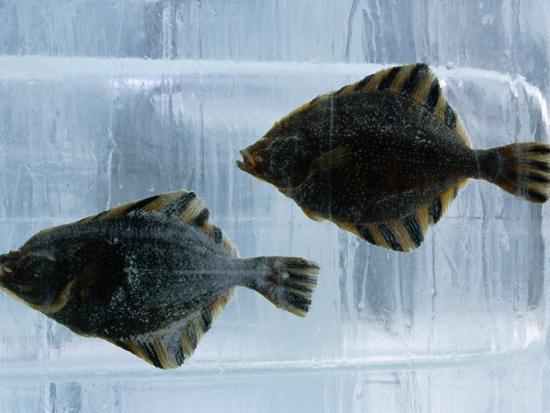 Pair of Fish Frozen in Ice for the Sapporo Yuki Matsuri (Snow Festival), Sapporo, Hokkaido, Japan,-Oliver Strewe-Photographic Print