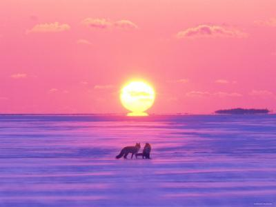 Pair of Fox in Winter Morning--Photographic Print