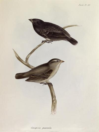 Pair of Geospiza Parvula, Illustration from 'The Zoology of the Voyage of H.M.S. Beagle, 1832-36-Charles Darwin-Giclee Print
