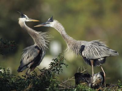 Pair of Great Blue Herons Stand Beside Their Nest-Klaus Nigge-Photographic Print