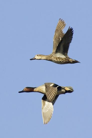 Pair of Green-Winged Teals Flying-Hal Beral-Photographic Print