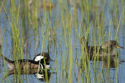 Pair of Hooded Mergansers, Lophodytes Cucullatus, Viera Wetlands, Florida, Usa-Maresa Pryor-Photographic Print