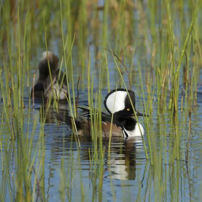 Pair of Hooded Mergansers,Viera Wetlands, Florida, Usa-Maresa Pryor-Photographic Print