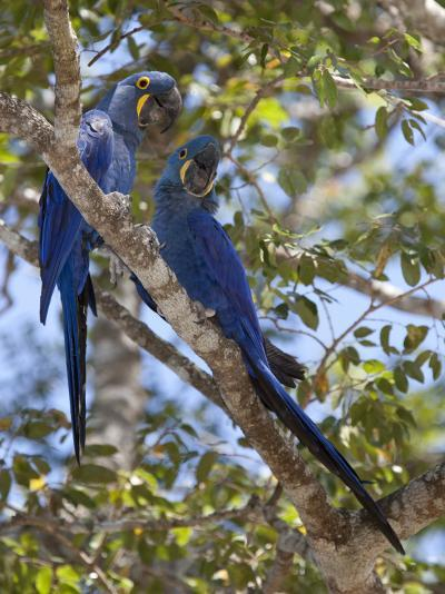 Pair of Hyacinth Macaws, Anodorhynchus Hyacinthinus, in a Tree-Roy Toft-Photographic Print