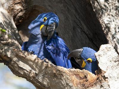 Pair of Hyacinthine Macaws, Anodorhynchus Hyacinthinus, in a Tree-Roy Toft-Photographic Print
