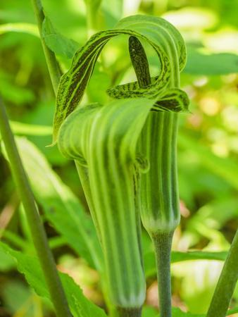 https://imgc.artprintimages.com/img/print/pair-of-jack-in-the-pulpit-plants-arisaema-triphyllum-in-a-garden-bed_u-l-q1gto470.jpg?p=0