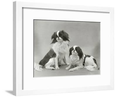 Pair of Japanese Chins Owned by Hudson One Sitting and One Lying Down-Thomas Fall-Framed Photographic Print