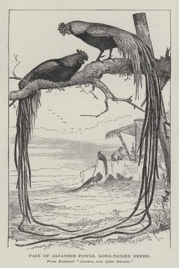 Pair of Japanese Fowls, Long-Tailed Breed--Giclee Print