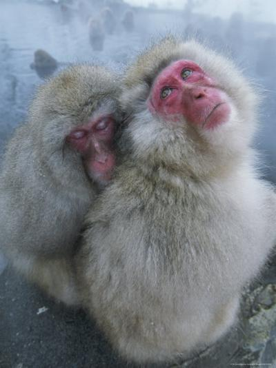 Pair of Japanese Macaques Huddled on the Edge of a Hot Spring-Tim Laman-Photographic Print