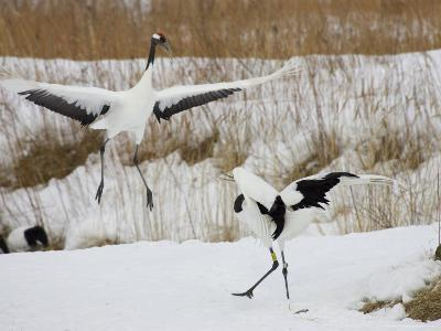 Pair of Japanese Red-Crowned Cranes in Mating Dance (Grus Japonensis)-Roy Toft-Photographic Print