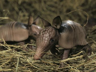 Pair of Juvenile Nine-Banded Armadillos, Melbourne, Florida-Bianca Lavies-Photographic Print