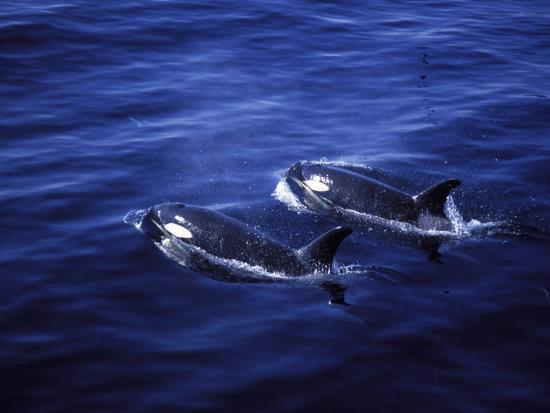 Pair of Killer Whales in the Indian Ocean-Mark Hannaford-Photographic Print